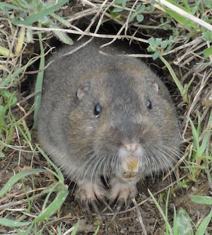 Pocket-Gopher