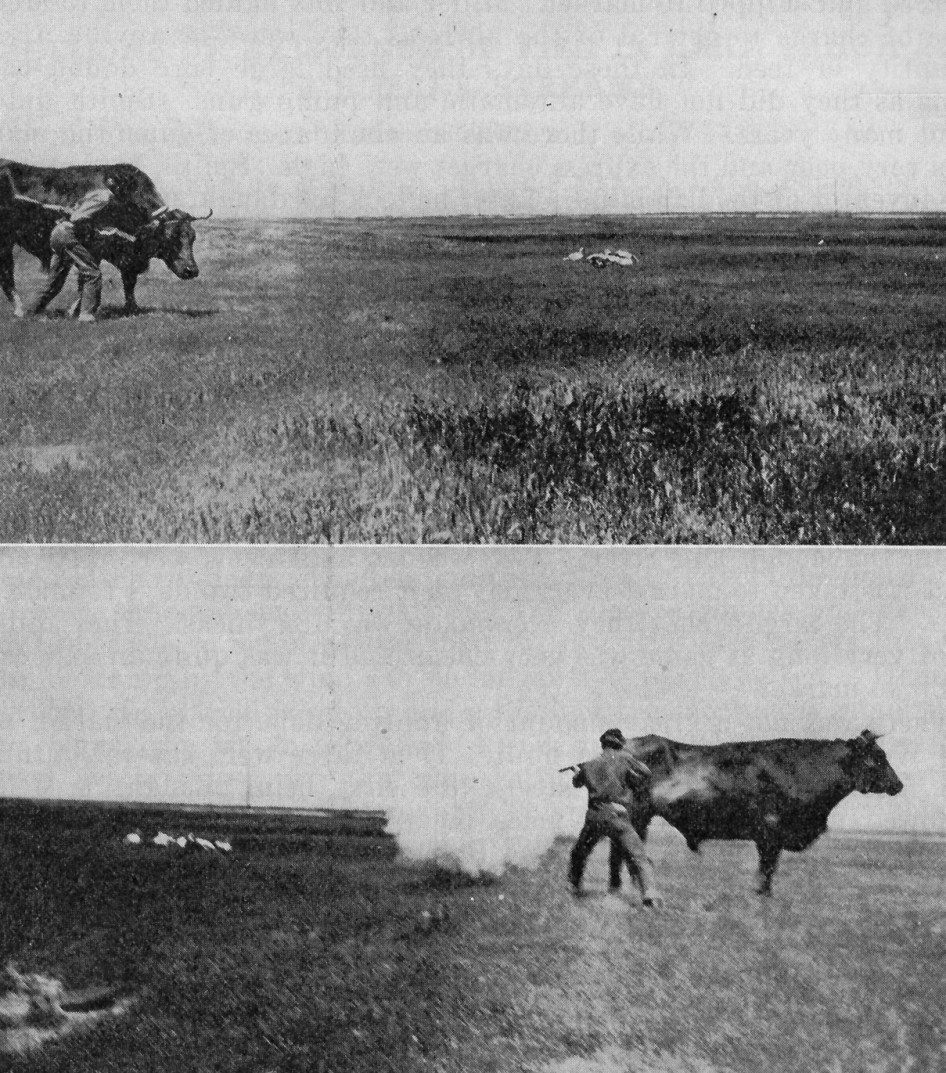 cattle-as-hunting-blind