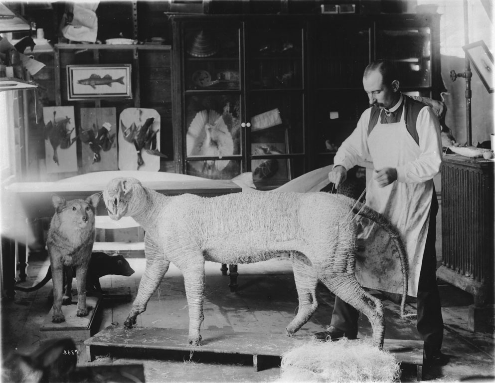 William Temple Hornaday working on a tiger