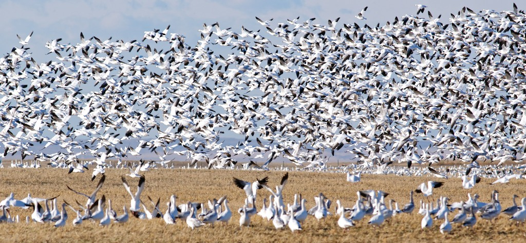 snow-geese-in-california.jpg