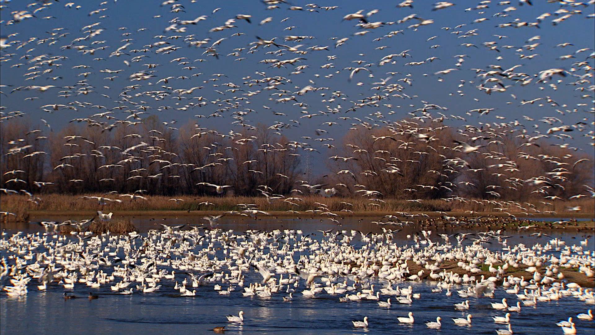 Snow-Geese-at-the-Colusa-Wildlife-Area.jpg