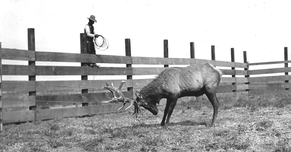 A tule elk is tied to the side of a Miller & Lux corral in Buttonwillow, California, during a 1904 tule elk round up.